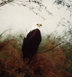 orel jasnohlasý, Okavango