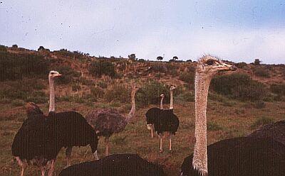 Pštrosí farma (JAR)