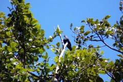 Holub červenoocasý (Alectroenas madagascariensis)