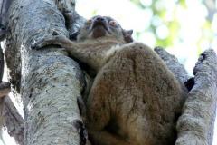 Lemur ankaranský (Lepilemur ankaranensis)