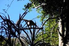 Lemur hnědý Sanfordův (Eulemur sanfordi) obratně mizející v porostu