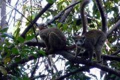 Lemur korunkatý (Eulemur coronatus)