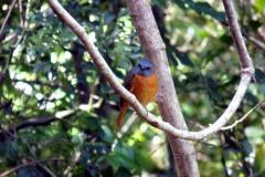 Skalník ambrový (Monticola erythronotus), endemický ptáček, žijící pouze v Ambrových horách