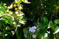 Strdimil souimanga (Nectarinia souimanga)