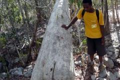 Vahza Tree - velký strom s malým kořenem
