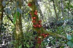 Madagaskarské fíky