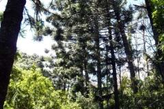 les palisandrů