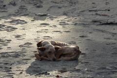 Typický malagašský pes (je živý!)