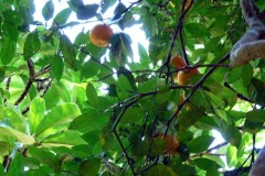 zdivočelé mandarinky