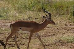 Aepyceros melampus (impala) - samec; Pavel Kohout