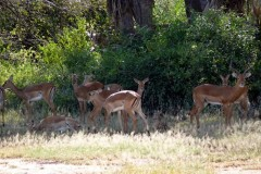 Aepyceros melampus (impala) - stádo; Pavel Kohout