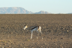 Antidorcas marsupialis (antilopa skákavá); Martina Novotná