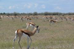 Antidorcas marsupialis (antilopa skákavá)