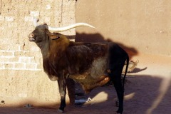 Capra aegagrus hircus (domácí koza)