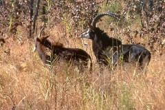 Hippotragus niger (antilopa vraná) - zleva samice a samec