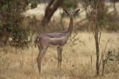 Litocranius walleri (antilopa žirafí); Jana Hajduchová