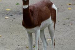 Nanger dama mhorr (gazela dama tmavá)