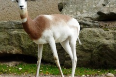 Nanger dama ruficolisgazela (dama červenokrká)