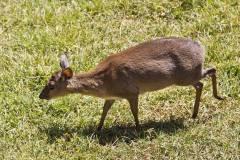 Nesotragus moschatus (antilopka pižmová); Jana Hajduchová