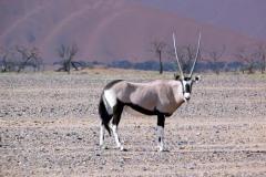 Oryx beisa (beisa)