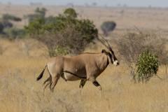 Oryx beisa callotis (oryx štětkatý); Jana Hajduchová