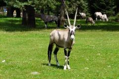 Oryx gazella (oryx jihoafrický)