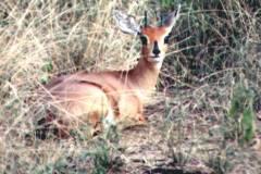 Raphicerus campestris (antilopa trávní)