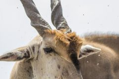 Taurotragus oryx (antilopa losí) - hlava; Jana Hajduchová