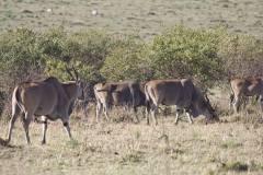 Taurotragus oryx (antilopa losí) - stádo; Jana Hajduchová