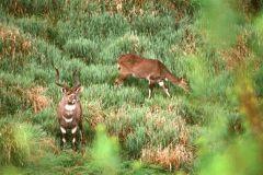 Tragelaphus buxtoni (nyala horská), Bale, Etiopie