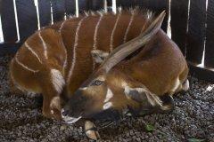 Tragelaphus eurycerus isaaci (bongo); Jana Hajduchová