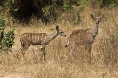 Tragelaphus imberbis (kudu malý); Jana Hajduchová