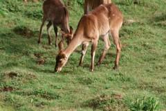 Tragelaphus scriptus (lesoň), Etiopie