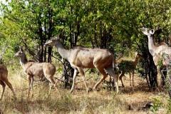 Tragelaphus strepsiceros (kudu velký)