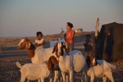 Capra aegagrus hircus (domácí koza), Namibie
