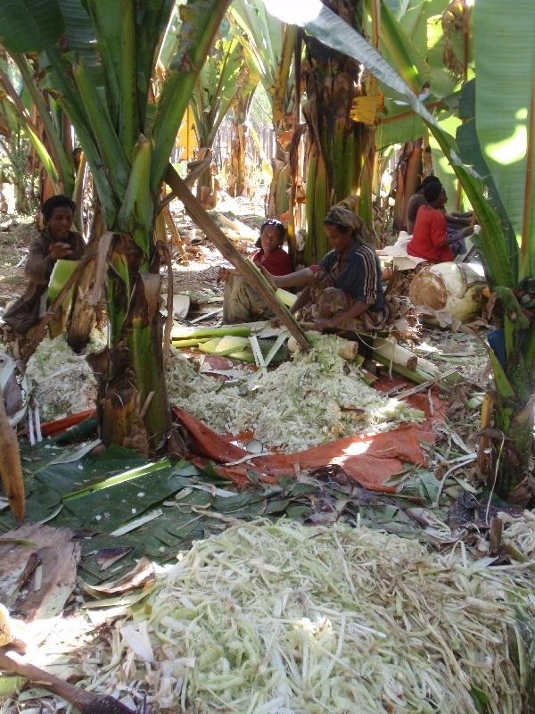 Sklizeň falešných banánů - Enset (Abyssinian banana, Etiopie (foto: Víťa Glomb)