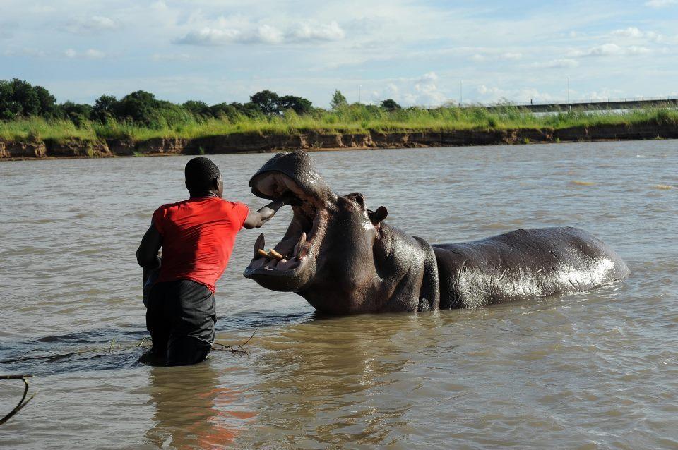 Hroch obojživelný (Hippopotamus amphibius) - mazel, Arthur Sniegon