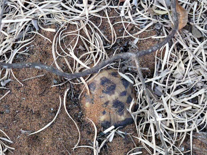 spící želva pavoučí, Ifata, Aye-Aye expedition, Madagaskar