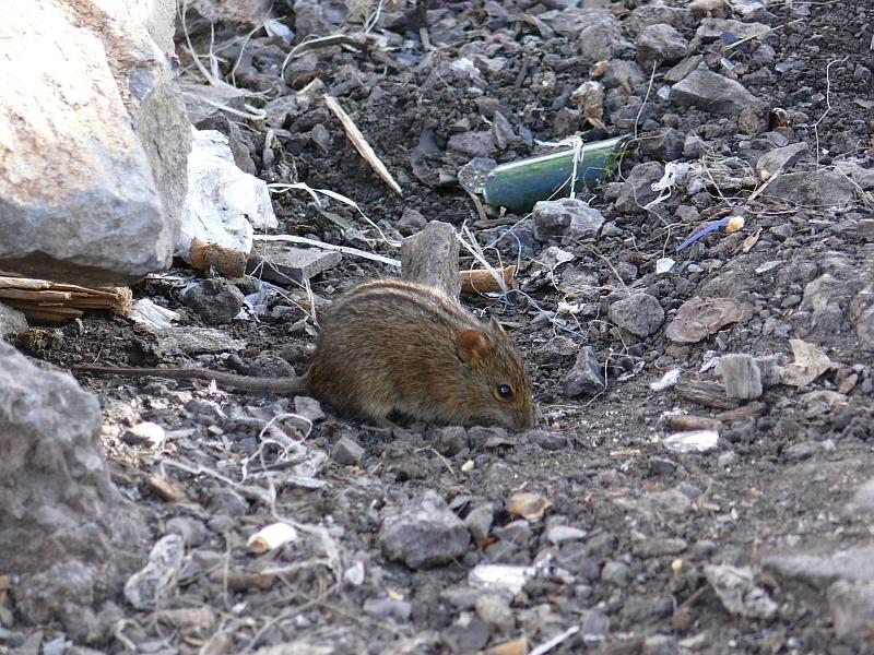 Rhabdomys pumilio; Four-striped grass mouse; myš čtyřpruhá