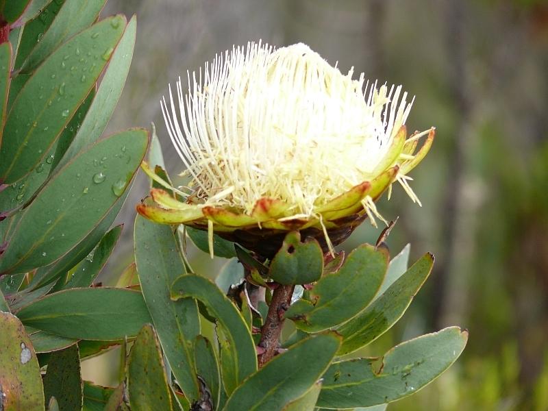 Protea kilimandžárská (Protea kilimanjaro)