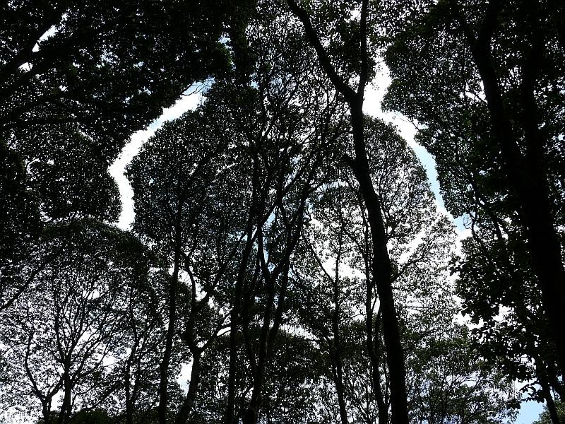 Kilimandžáro - pohled do korun stromů