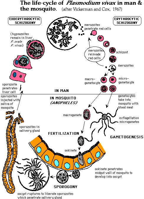 životnímu cyklu Plasmodia
