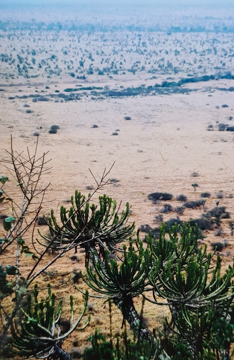 Candelabra Tree (Euphorbia cooperi) - Kruger National Park