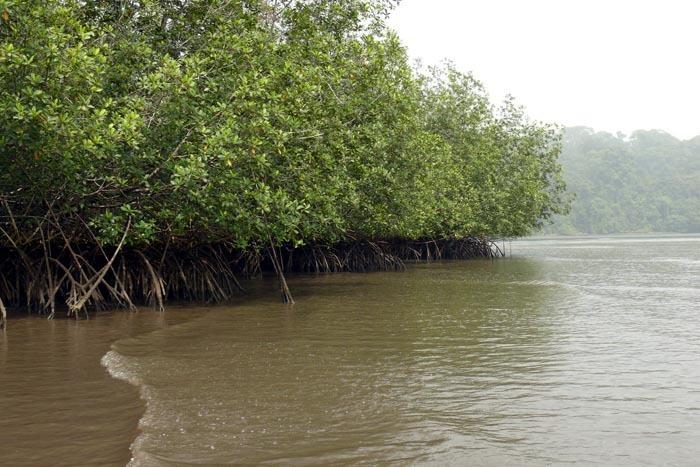 Mangrovový les v Kamerunu