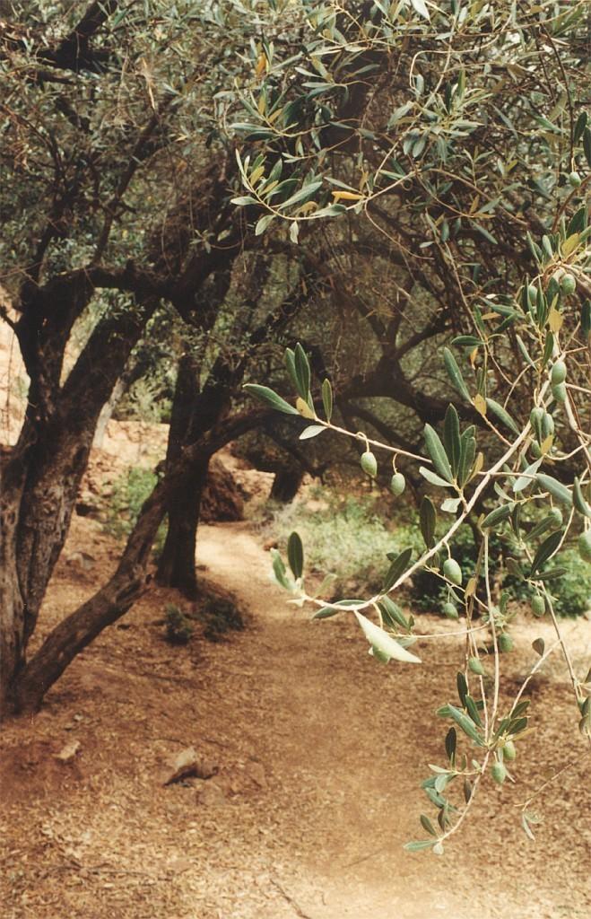Olivovníkové háje u vodopádů Ouzoud (Olivovník (Olea))