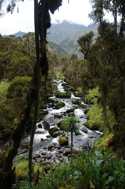 Ruwenzori - hranice horského lesa; Autor: Jørn Eriksson