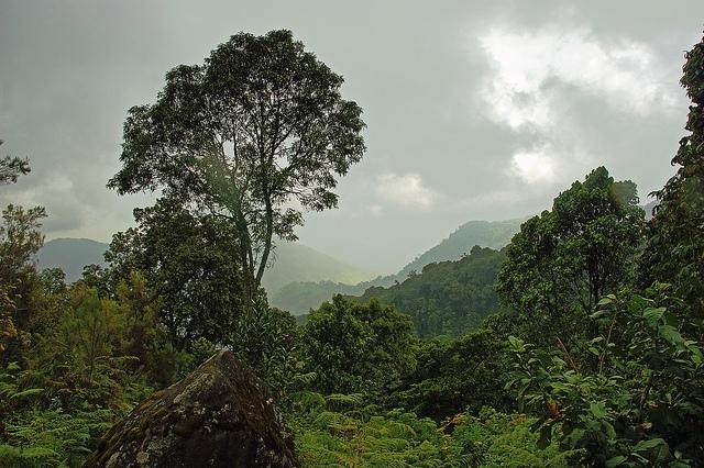 Ruwenzori - horský les; Autor: Jørn Eriksson
