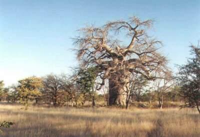 baobab_pritel