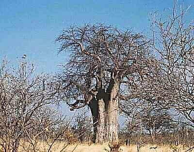 baobab_rany