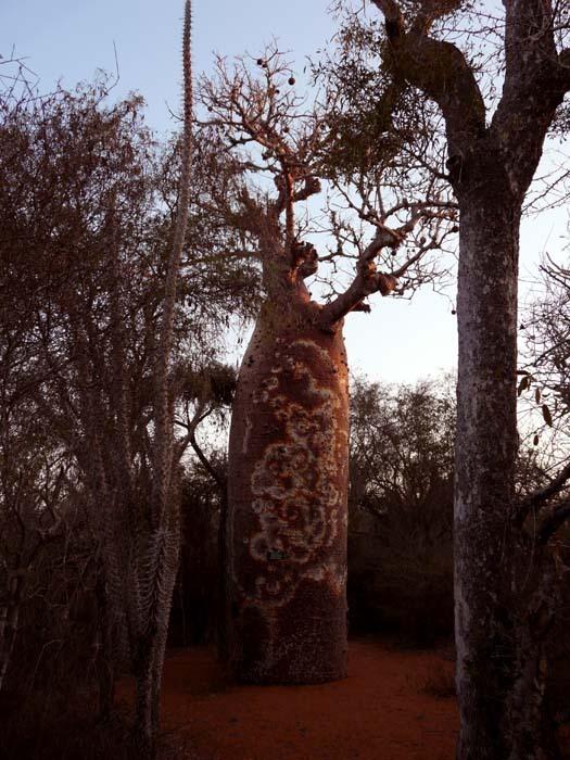 Baobab fony (Adansonia rubrostipa)